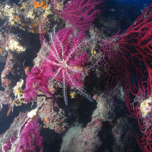 Foto Crinoide Diving Continente Blu