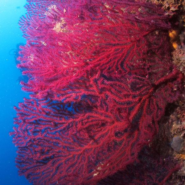 Foto Gorgonie Rosse Diving Continente Blu